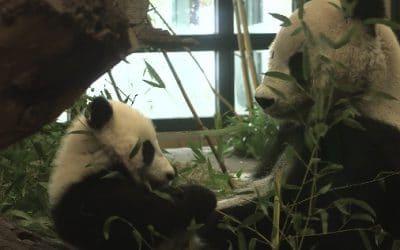 Het gaat goed met de Panda Tweeling