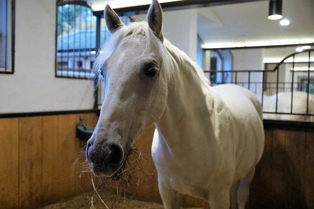 Lipizanner paarden Spaanse rijschool wenen